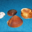 Natúr kagyló/csiga (4. minta/10 db) - barna kagyló, Vegyes alapanyag,  Natúr kagyló/csiga (4. minta) - barna kagyló - furat nélkül  Mérete: 1-4 cm  Az ár 10 darab ..., Alkotók boltja