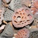 Lótuszvirág (szárazvirág), Dekorációs kellékek, Vegyes alapanyag, Virágkötészet, Virágkötészeti kompozíciókhoz, és egyéb dekorációkhoz használható alapanyag.  Méret: 20X20-as csoma..., Alkotók boltja