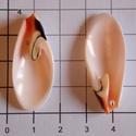 Tengeri kagyló héj, Gyöngy, ékszerkellék, Egyéb alkatrész, Csodálatos színe van ennek a kagylónak ! Olyan finom, nőies!!  Nyakláncba, fülbevalónak is ki..., Alkotók boltja